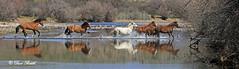 Wild crossing (littlebiddle) Tags: horses salt river wildlife mammal animals arizona