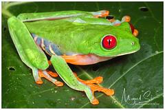 Red-eyed Tree Frog / Rana de Ojos Rojos (Panama Birds & Wildlife Photos) Tags: rana ranas ranaarborícola treefrog frog frogs anfibio anfibios amphibian amphibians