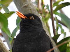 MR BLACKBIRD SINGS (Poppy Cocqué ♫) Tags: ap poppy poppycocqué blackbird maleblackbird