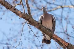 Pigeon colombin - 6933 (Luc TORRES) Tags: annecy auvergnerhônealpes columbidés columbiformes faune france hautesavoie lacdannecy nature oiseaux pays pigeoncolombin