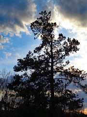 Pine Tree. (dccradio) Tags: lumberton nc northcarolina robesoncounty nature natural outdoor outdoors outside sony cybershot dscw830 march monday evening goodevening mondayevening spring springtime sky eveningsky bluesky tree trees branch branches treebranch treebranches treelimb treelimbs pine pinetree evergreen cloud clouds cloudformation