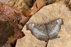 Laringa horsfeldi ssp. glaucescens - Chiang Dao_20180202_1505_DSC_7606_DxO (I love comments but delete awards - Jan F. Rasmuss) Tags: laringahorsfeldisspglaucescens laringahorsfeldi laringa biblidinae nymphalidae nymphalid nymphalids thailand d800 butterfly butterflies macro closeup insecta lepidoptera rhopalocera nikon janfischerrasmussen janfrasmussen asia southeastasia chiangmai chiangmaiprovince