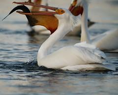 Hang On (dcstep) Tags: pelican feeding americanwhitepelican cherrycreekstatepark cherrycreekreservoir water lake reservoir bird sonya9 handheld fe400mmf28gmoss fe20xteleconverter allrightsreserved copyright2019davidcstephens dxophotolab220 dxoprimenoisereduction dsc8983dxo