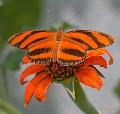 Orange (N.Clark) Tags: butterflies butterflyexhibit assiniboineparkzoo orangebutterflies bright winnipeg orange orangebutterflyonorangeflower tropicalbutterflies bandedorangeheliconian familynymphalidae dryadulaphaetusa