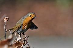 he went that way (Paul Wrights Reserved) Tags: robin robins bird birding birds birdphotography birdwatching animal animals animalantics bokeh bokehphotography bokehlicious
