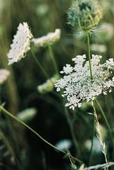 Les hautes herbes (La.Main.Noire) Tags: nikon fe nikkor prime lens 50mm ais manuel argentique film carotte sauvage été kodak portra160 daucus carota nature picardie aisne flower art photo