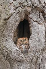 Screech (ayres_leigh) Tags: bird owl nature canon 400mm guelph ontario rufous red morph wildlife