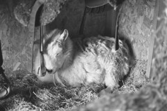 Winter's Nap (squirtiesdad) Tags: firenze goat animal pet barn hay saddles stirrup morning sun selfdeveloped selfscanned nikon fm epson v600 monochrome blackandwhite bw bn bwfp analog analogue arista iso100 35mm film