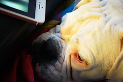keep an eye on my phone for me please Etta (Too busy with Doctors' appointments) Tags: boxer dog iphone mobile phone