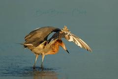 The Hover (Beve Brown-Clark) Tags: wader wildlife shorebird egret reddishegret nature waterfowl bird ©bevebrownclark florida