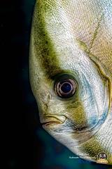 DUSKY BATFISH (Sonja Ooms) Tags: anilao bat batfish dusky duskybatfish fish macro nature philippines pinnatus platax plataxpinnatus shadedbatfish silver southluzon underwater water