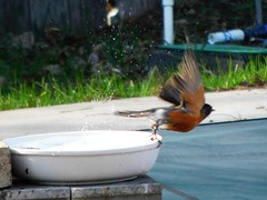 Robin Leaving the Bath (starmist1) Tags: bird robin birdbath flying flyingaway wings bowl ceramicbowl blocks concreteblocks spring april rain poolcover wintercover poolskirting grass fence pipes