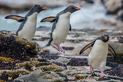 Rockhopping (Tim Melling) Tags: eudyptes chrysocome southern rockhopper penguin penguins leaping rock hopping falkland islands timmelling