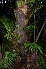 Epiphytic Fern (Markus Branse) Tags: epiphyticfernonatreetrunk florencefalls litchfieldnationalpark northernterritory australia australien fern farn epiphyten epiphytic aufsitzerpflanze natuur nature natur monsoonforest regenwald flora plants plant pflanze pflanzen blume blumen fleur