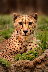 Cheetah-DC 3-0 F LR 4-9-19 J038 (sunspotimages) Tags: animal animals cheetah cheetahs cat cats bigcat bigcats nature wildlife zoo zoos nationalzoo