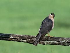 13 04 2019 (cathyk31) Tags: oiseau epervierdeurope accipiternisus accipitridés accipitriformes eurasiansparrowhawk bird