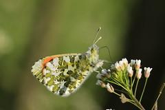Oranjetipje (woutermaes) Tags: anthochariscardamines orangetip anthocharis aurorafalter aurore mariposa aurora