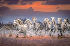 Unicorns (Nedko Nedkov) Tags: camargue france horse white sunset unicorn