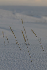 Close-up of Sea Lyme Grass in snow in winter (Blue Tale) Tags: snow grass winter plant nature grassfamily leymus arenarius leymusarenarius plants blue lyme sea sand rye bluelymegrass lymegrass sealymegrass sandryegrass arctic north arviat canada white yellow poaceae flora invasive dunes polar perennial northern flower bluegray blades blade ocean cream sword shaped leaves swordshapedleaves leaf coast coastal closeup flowers close frozen