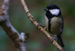 Great Tit - Upton CP Dorset - 140119 (2) (Ann Collier Wildlife & General Photographer) Tags: greattit uptoncountrypark pooleharbour poole dorset dorsetwildlife birds bird wildlife