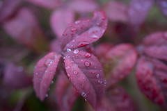 All wet (woodwindfarm) Tags: macro drops rain red leaves