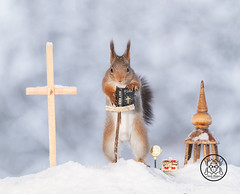 red squirrel holding a bible in the snow (Geert Weggen) Tags: redsquirrel animal squirrel nature bible winter snow cross open opening whitebackground book old literature antique education tencommandments typescript cutout nopeople awe oldfashioned retrostyle studying time agingprocess brown catholicism christianity clippingpath concepts data dirty hardcoverbook holybook inspiration learning leather message newtestament obsolete page photography psalms reading referencebook religion religioustext rundown singleobject spirituality text textbook weathered church tower square priest churchman pastor bispgården jämtland sweden geert weggen hardeko ragunda