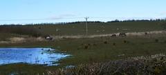 Horses, Ayrshire, Scotland. (Phineas Redux) Tags: horsesayrshirescotland scottishlandscapes scottishscenery ayrshirescotland horses scotland