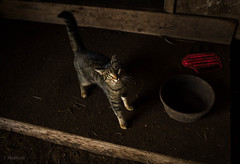 pink boot with barn cat (Jen MacNeill) Tags: cat cats barn horse feed me feline