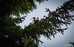 Bandurria (pocket.photographs1) Tags: pajaro bird birds chile patagonia santiago follow coyhaique
