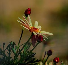 Flor-Flower-Nature.- (angelalonso57) Tags: canon eos 7d mark ii tamron 16300mm f3563 di vc pzd b016 ƒ63 3000 mm 1400 100 flor flower natura rojo red colours composition composición desenfoque floral