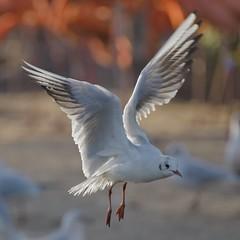 _IMG9689- on1 (douglasjarvis995) Tags: bird gull wild wildlife pentax k1 dfa 150450 chester