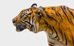 Tiger (Travis H) Tags: adaptation animals bengaltiger bigcats carnivore eye fawn felidae grass jungle leaf mammal melbournezoo nationalpark organism plant siberiantiger snout terrestrialanimal tiger vertebrate whiskers wilderness wildlife zooadaptationanimalsbengaltigercarnivoreeyefawnfelidaejunglemelbournezoonationalparksiberiantigertigervertebratewildernesszoobigcatsgrassleafmammalorganismplantsnoutterrestrialanimalwhiskerswildlife