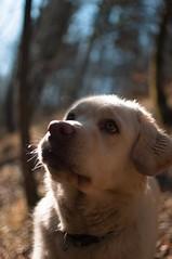 Dog (matevmrak) Tags: dog dogking king nikond90 nikon d90 35mmlens dx 13mp lut adobeps adobecreativecloud creativecloud adobe nature woods grass animal animaleyeautofocus
