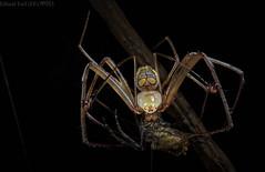 Araneophagic male pirate spider (Gelanor sp.) with prey (pbertner) Tags: piratespider mimetidae nocturnal understory southamerica peru perunature rainforest rainforestexpeditions madrededios puertomaldonado predation predator prey araneid refugioamazonas