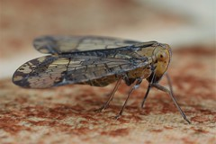 Nogodina sp. adult (Nogodinidae) (Scrubmuncher) Tags: nogodina nogodinidae planthopper insect macro osapeninsula costarica