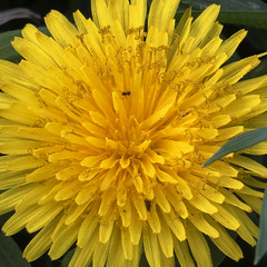 Dandelion flower with ant