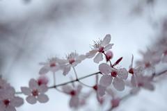 Blossom me (Ans van de Sluis) Tags: 2019 ansvandesluis blossom bokehlicious botanic botanical bud colours flora floral flower macro march nature red