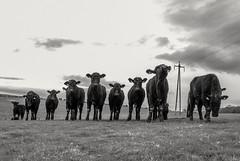 Curious calf's. (CWhatPhotos) Tags: cwhatphotos flickr calf calfs cow cows field group curious