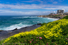 Flowers at Cuvier park (borders92109) Tags: flowers beach ocean surf waves la jolla california san diego sony a7ii tamron 2875 f28