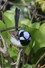The superb fairy-wren (Uhlenhorst) Tags: 2015 australia australien animals tiere birds vögel travel reisen