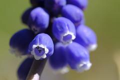 Very Close Grape Hyacinth - Muscari botryoides (Modkuse) Tags: grapehyacinth hyacinth flower flowers nature natural art artphotography fineartphotography fineart photoart macro macrophotography macrolens macroflower 80mm 80mmmacro xf80mmf28rlmoiswrmacro fujinonxf80mmf28rlmoiswrmacro fujifilm fujifilmxt2 fujinon xt2