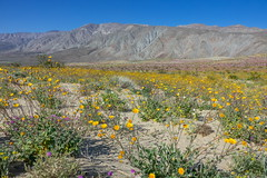 Yellow wildflowers at Anza Borrego State Park-02  3-16-19
