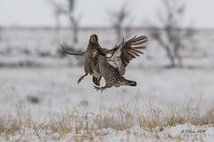 IMG_6587 chicken fight (starc283) Tags: starc283 prairie bird birding birds canon 7d chicken chickens lek dance nature natures finest watcher nebraska prairiechicken chickenfight