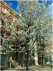 Baltimore MD ~ Charles North (karma (Karen)) Tags: baltimore maryland charlesnorth trees blossoms cliche hcs iphone topf25