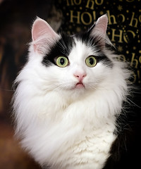 Wide-Eyed Cat (manxmaid2000) Tags: cat feline fluffy cute green eyes pet christmas kitten kitty wideeyed wide white furry whiskers hohoho portrait pretty surprise nose