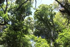 Australian Red Cedar (Toona ciliata) (Poytr) Tags: corrimal wollongong illawarra illawarraescarpmentstateconservationarea tree forest nsw australia subtropicalrainforest toonaciliata meliaceae subtropicalarf arfp nswrfp subtropicalarfp rainforest
