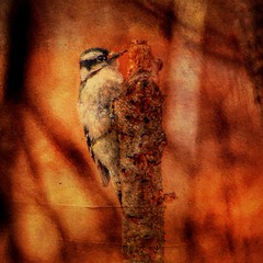 "Downy Woodpecker (F) (chauvin.bill) Tags: downywoodpeckerf manipulatedphoto manipulatedimage ipadart handheldartapril2019 birdworks snapseed glaze distressedfx netartii ""exoticimage"" awardtree"