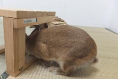 Ichigo san 1533 (Errai 21) Tags: いちごさん ichigo san  ichigo rabbit bunny cute netherlanddwarf pet うさぎ ウサギ いちご ネザーランドドワーフ ペット 小動物 1533