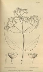 n651_w1150 (BioDivLibrary) Tags: botany melanesia papuanewguinea missouribotanicalgardenpeterhravenlibrary bhl:page=500580 dc:identifier=httpsbiodiversitylibraryorgpage500580 artist:name=gertrudbartusch