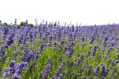 DSC_9206-2 (aehnattapol) Tags: france lavender building shop landscape uk england europe eifel farm blue sky green